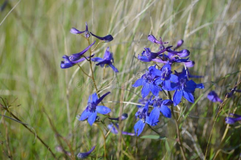 Ηρεμία σαπφείρου, glareosum Delphinium, είδη Larkspur, άγρια λουλούδια λόφων ουρανού αλόγων, ανατολικό πολιτεία της Washington στοκ φωτογραφίες