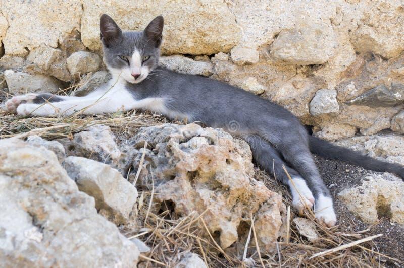Η άγρια γάτα οδών της Ελλάδας που βρίσκεται στις αρχαίες καταστροφές, δύο χρωματίζει το γατάκι, γκρίζος και άσπρος στοκ φωτογραφίες με δικαίωμα ελεύθερης χρήσης