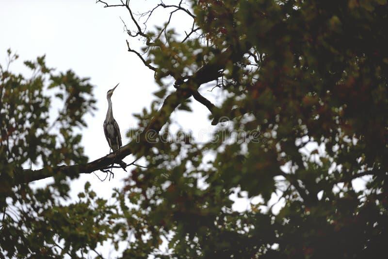 Η άγρια γκρίζα συνεδρίαση ερωδιών στον κλάδο υψηλό στο δέντρο στοκ εικόνες