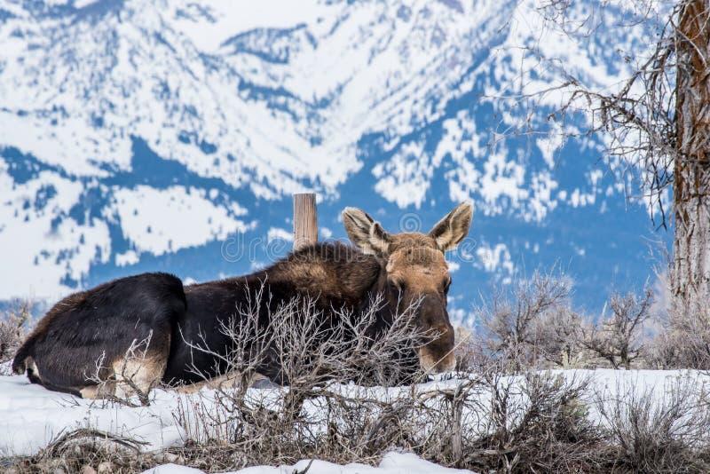 Η άλκη το χειμώνα καθορίζει στο χιόνι στο εθνικό πάρκο στοκ φωτογραφίες με δικαίωμα ελεύθερης χρήσης
