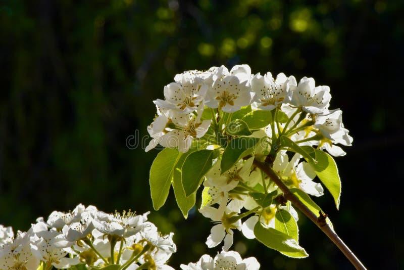 Η άνθιση ενός δέντρου αχλαδιών στοκ εικόνες