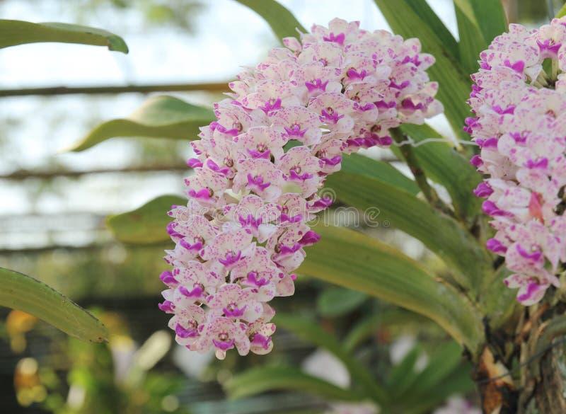 Η άνθιση λουλουδιών ορχιδεών gigantea Rhynchostylis εξωραΐζει την άνοιξη την ομορφιά της φύσης στοκ εικόνες με δικαίωμα ελεύθερης χρήσης