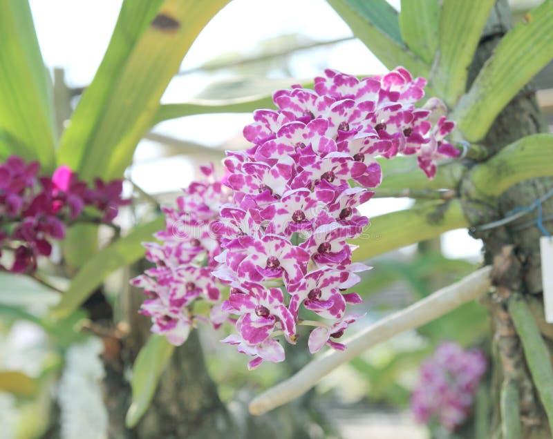 Η άνθιση λουλουδιών ορχιδεών gigantea Rhynchostylis εξωραΐζει την άνοιξη την ομορφιά της φύσης στοκ εικόνα