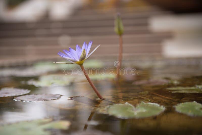Η άνθιση λουλουδιών λωτού στοκ φωτογραφία