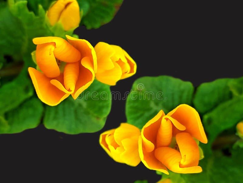 Η άνοιξη ανθίζει την κινηματογράφηση σε πρώτο πλάνο Όμορφα άνθη πέρα από το μαύρο υπόβαθρο στοκ φωτογραφία με δικαίωμα ελεύθερης χρήσης
