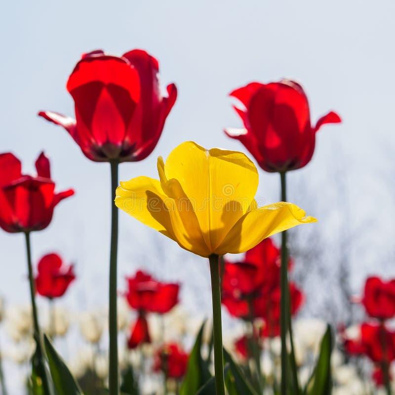 Η άνοιξη ανθίζει τη σειρά, κίτρινη τουλίπα μεταξύ των κόκκινων τουλιπών στοκ εικόνα