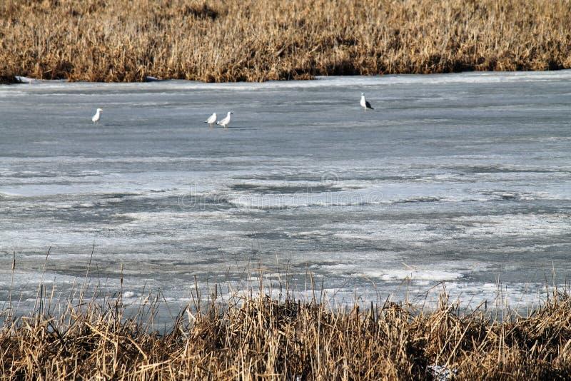 Η άνοιξη, χιόνι, χιόνι λειώνει, ήλιος, χλόη, ποταμός, seagulls στον ποταμό στοκ φωτογραφία