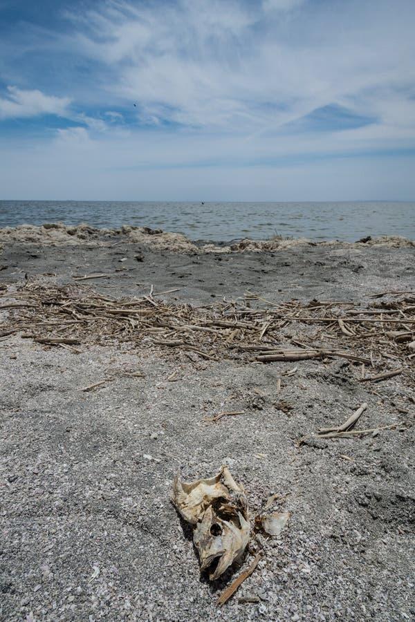 Η άποψη πορτρέτου ενός νεκρού tilapia κεφαλιού ψαριών έπλυνε επάνω στις ακτές της θάλασσας Salton στην παραλία Καλιφόρνια της Βομ στοκ φωτογραφία με δικαίωμα ελεύθερης χρήσης