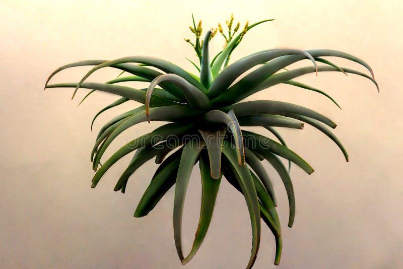 Η άποψη juicy πράσινο Aloe με τα κίτρινα λουλούδια με ένα αναμμένο υπόβαθρο στοκ φωτογραφία με δικαίωμα ελεύθερης χρήσης