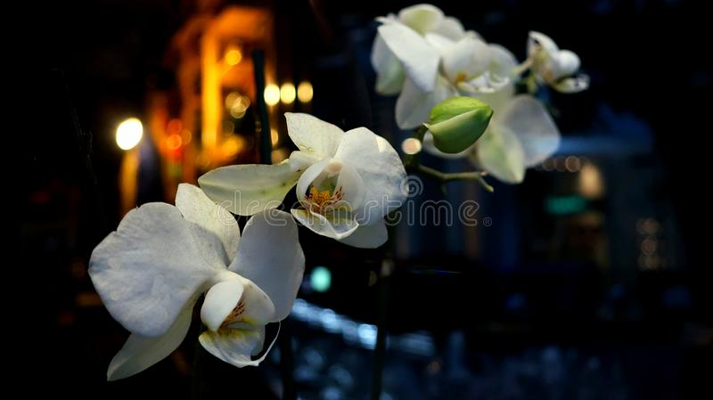 Η άσπρη άγρια ορχιδέα στη νύχτα στοκ εικόνα με δικαίωμα ελεύθερης χρήσης