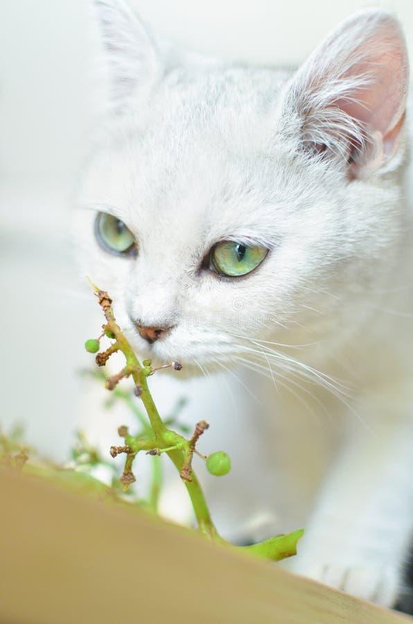 Η άσπρη γάτα με τα πράσινα μάτια μυρίζει τις πράσινες εγκαταστάσεις στοκ φωτογραφίες με δικαίωμα ελεύθερης χρήσης