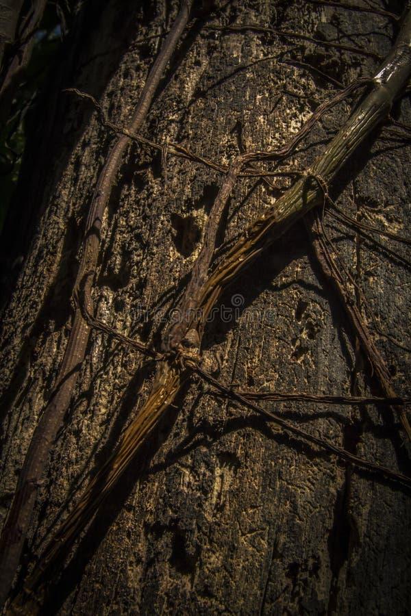 Η άσπρη εισβολή μυρμηγκιών βλάπτει έναν κορμό δέντρων στοκ φωτογραφία