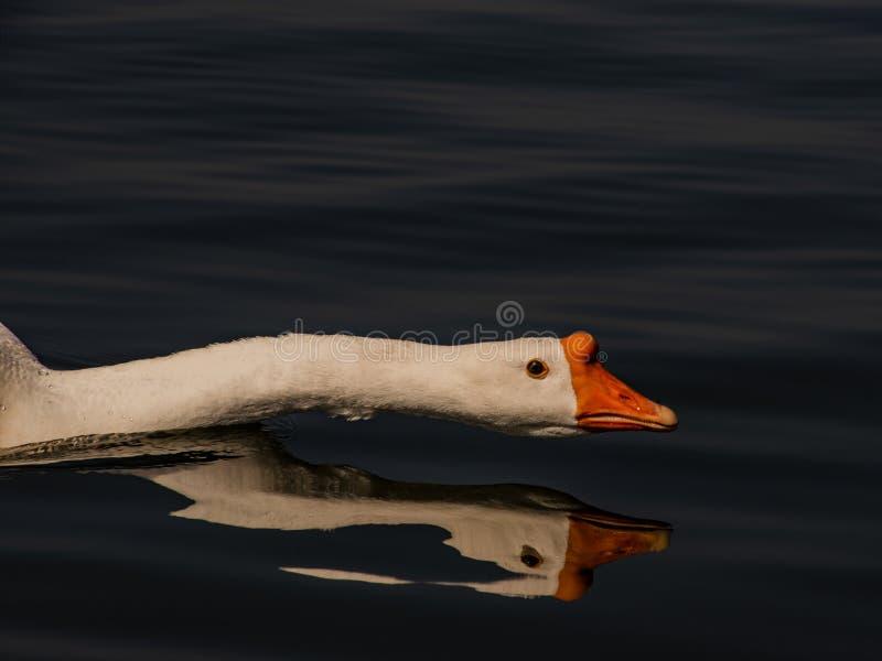 Η άσπρη εσωτερική χήνα ο λαιμός σε μια σκοτεινή λίμνη στοκ φωτογραφία
