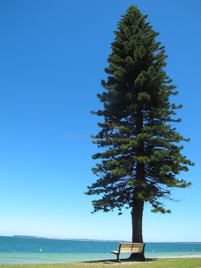Η άσπρη καρέκλα κάτω από το μεγάλο και ψηλό δέντρο πεύκων στην μπλε θάλασσα έχει το μπλε υπόβαθρο στην Αυστραλία στοκ εικόνα
