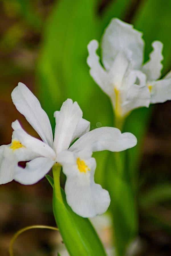 Η άσπρη λοφιοφόρη Iris στοκ εικόνες με δικαίωμα ελεύθερης χρήσης