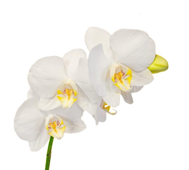 Η άσπρη ορχιδέα κλάδων ανθίζει με τους οφθαλμούς, Orchidaceae, Phalaenopsis γνωστό ως ορχιδέα σκώρων στοκ εικόνα με δικαίωμα ελεύθερης χρήσης