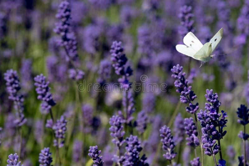 Η άσπρη πεταλούδα κυματίζει γύρω από τα κεφάλια λουλουδιών σε ένα αγρόκτημα λουλουδιών στο Cotswolds, Snowshill UK στοκ φωτογραφίες με δικαίωμα ελεύθερης χρήσης