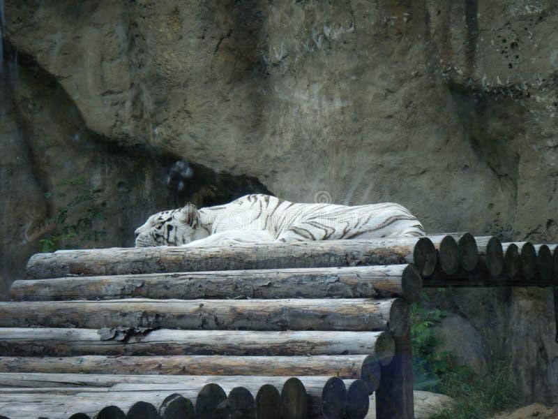 Η άσπρη τίγρη βρίσκεται και στηρίζεται στοκ φωτογραφία με δικαίωμα ελεύθερης χρήσης