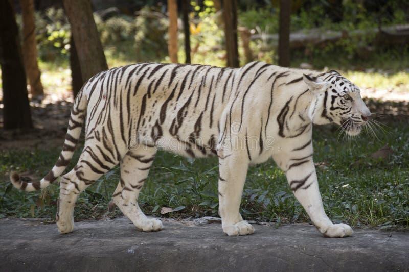Η άσπρη τίγρη στοκ φωτογραφίες