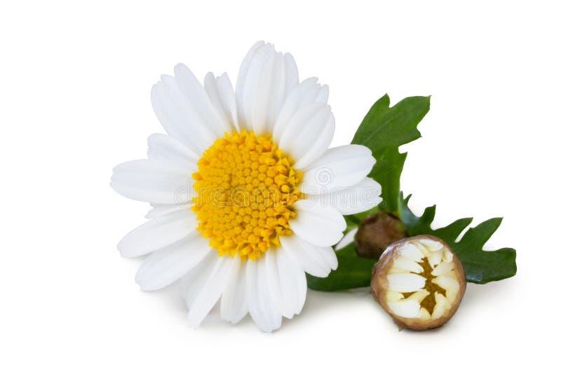 Η άσπρη Daisy Marguerite με τον οφθαλμό και τα πράσινα φύλλα που απομονώνονται στο άσπρο υπόβαθρο, συμπεριλαμβανομένου του ψαλιδί στοκ φωτογραφία