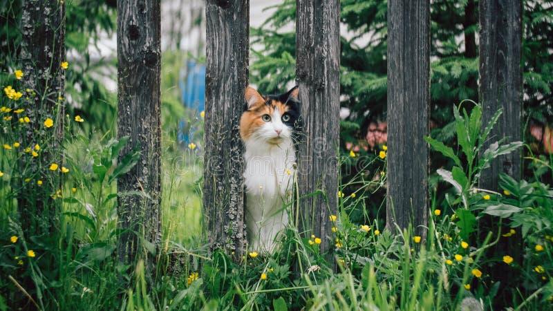 Η άσπρος-κόκκινη χνουδωτή γάτα κόλλησε το ρύγχος της μεταξύ των πινάκων στο φράκτη στοκ φωτογραφίες