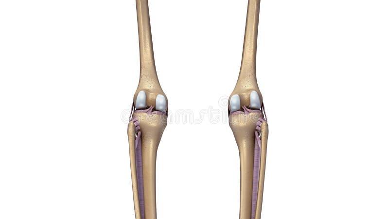 Η ένωση γονάτων σκελετών με τους συνδέσμους υποστηρίζει την άποψη στοκ φωτογραφία