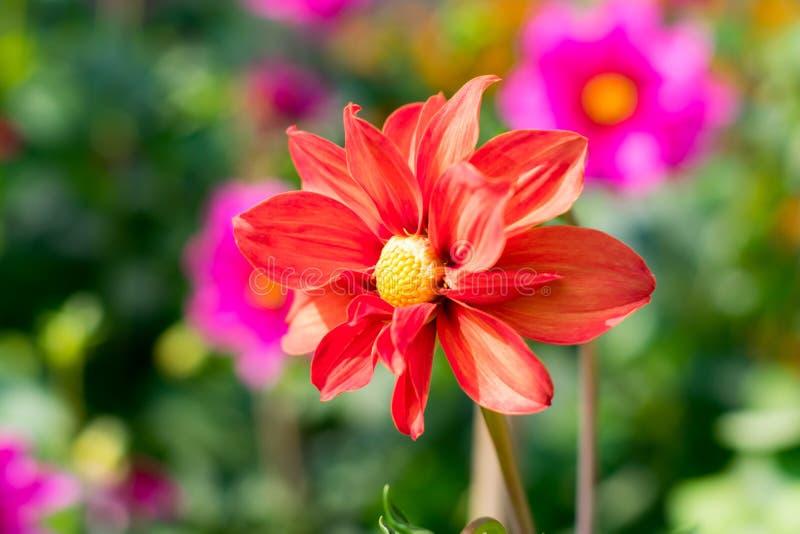 Η έρημος αυξήθηκε γένος Adenium των ανθίζοντας φυτών νταλιών στην οικογένεια Apocynum Εγκαταστάσεις αγάπης ήλιων μοιάζουν με ένα  στοκ εικόνα