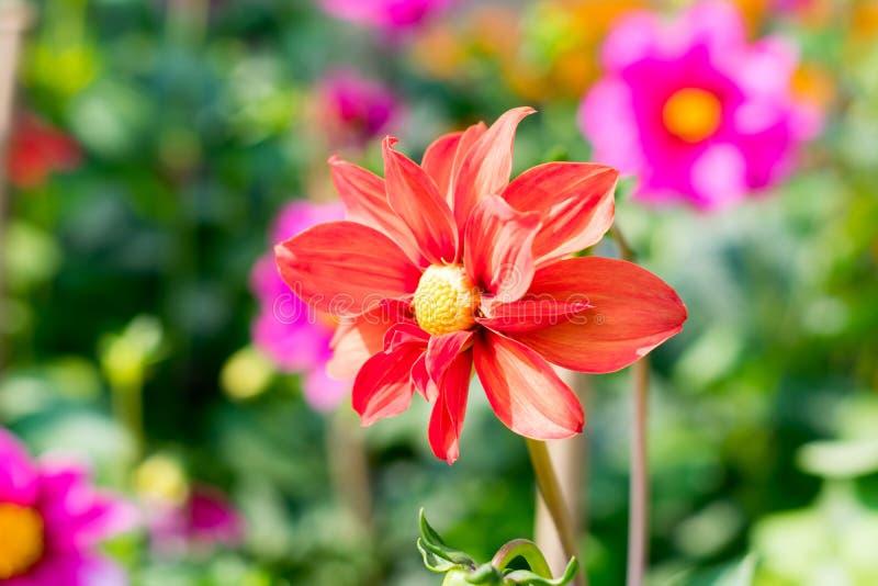 Η έρημος αυξήθηκε γένος Adenium των ανθίζοντας φυτών νταλιών στην οικογένεια Apocynum Εγκαταστάσεις αγάπης ήλιων μοιάζουν με ένα  στοκ φωτογραφία με δικαίωμα ελεύθερης χρήσης
