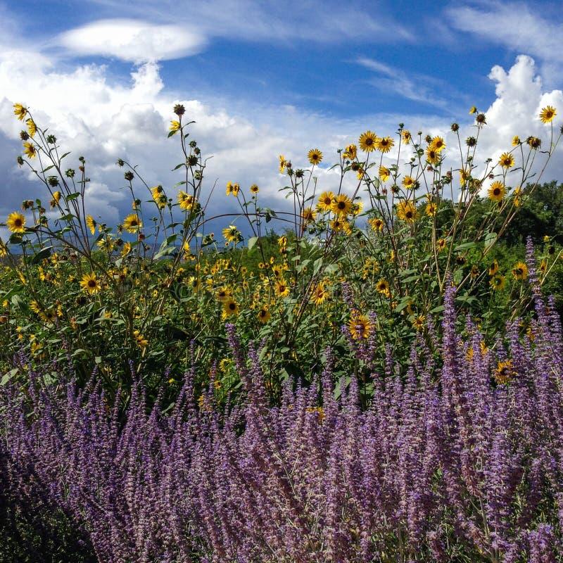 Ηλίανθοι και lavender στοκ εικόνες με δικαίωμα ελεύθερης χρήσης