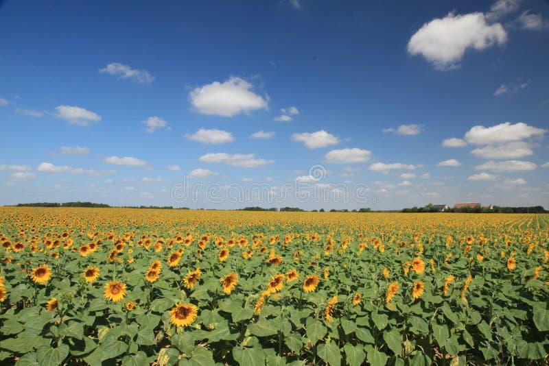 Ηλίανθοι που επιδιώκουν τον ήλιο κάτω από έναν μπλε ουρανό στοκ εικόνες