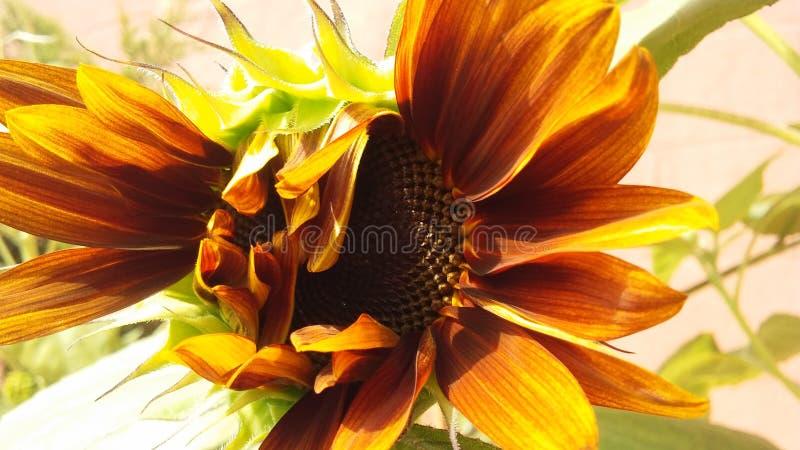 ` Ηλίανθος ήλιων ` βραδιού, να ξετυλίξει ηλιάνθου στο φωτεινό φως του ήλιου το καλοκαίρι στοκ φωτογραφία με δικαίωμα ελεύθερης χρήσης