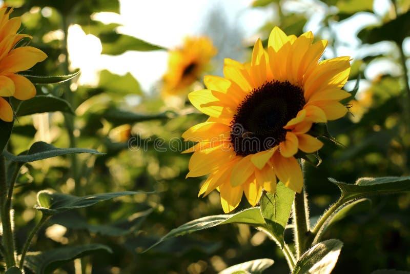 Ηλίανθος ενάντια στον ήλιο βραδιού στοκ εικόνες