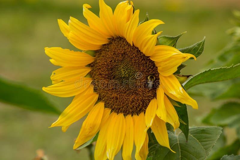 Ηλίανθος επικονίασης μελισσών στοκ φωτογραφία