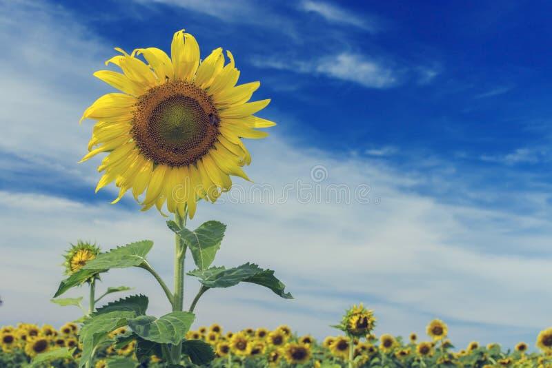 Ηλίανθος και μπλε ουρανός, εκλεκτής ποιότητας φίλτρο στοκ φωτογραφίες με δικαίωμα ελεύθερης χρήσης