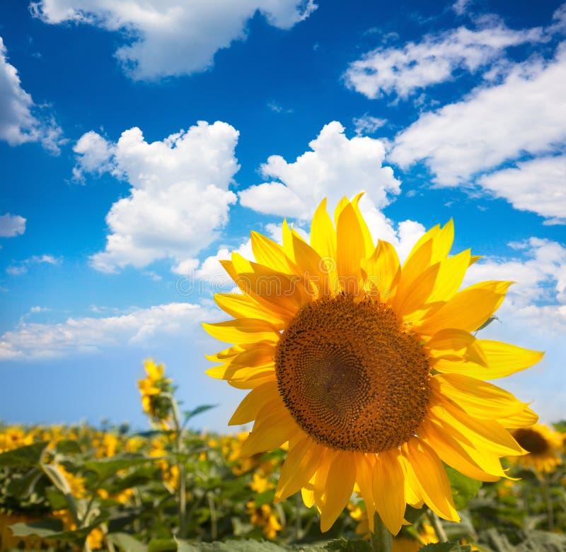 Ηλίανθος και τομέας ενάντια στο μπλε ουρανό beautifu/το καλοκαίρι στοκ φωτογραφίες με δικαίωμα ελεύθερης χρήσης