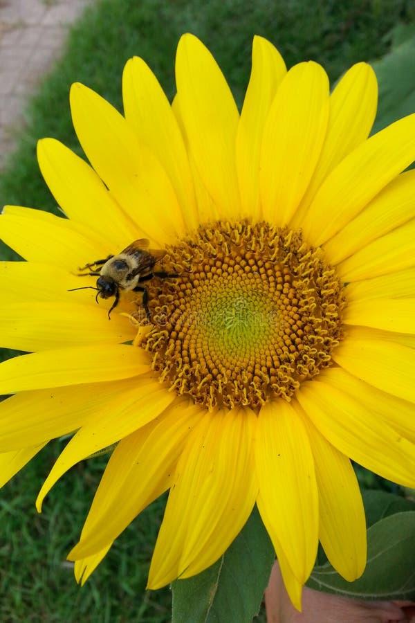 Ηλίανθος με τη μέλισσα στοκ εικόνες με δικαίωμα ελεύθερης χρήσης