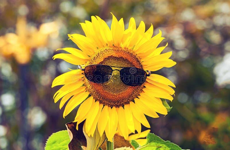 Ηλίανθος που φορά τα μαύρα γυαλιά ηλίου στο φυσικό φως στοκ εικόνα