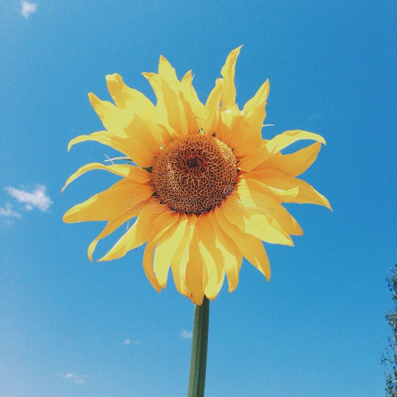 Ηλίανθος στον ήλιο στοκ εικόνες με δικαίωμα ελεύθερης χρήσης