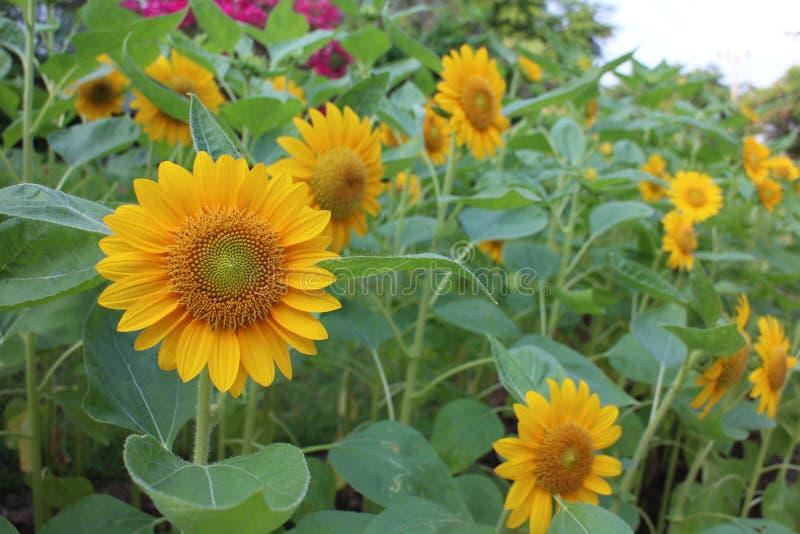 Ηλίανθος στον τομέα, κίτρινο τοπίο κήπων στοκ εικόνες με δικαίωμα ελεύθερης χρήσης