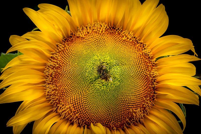 Download Ηλίανθος στοκ εικόνες. εικόνα από λουλούδι, κήπος, ανασκόπησης - 62704064