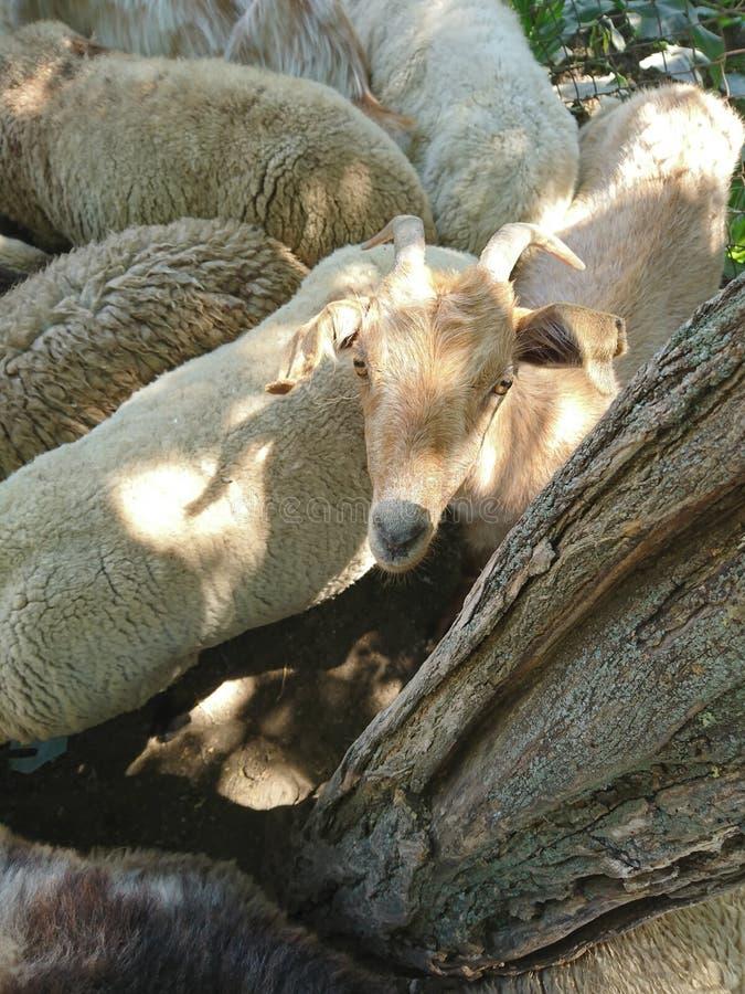 Η αίγα και τα πρόβατα στοκ εικόνα με δικαίωμα ελεύθερης χρήσης