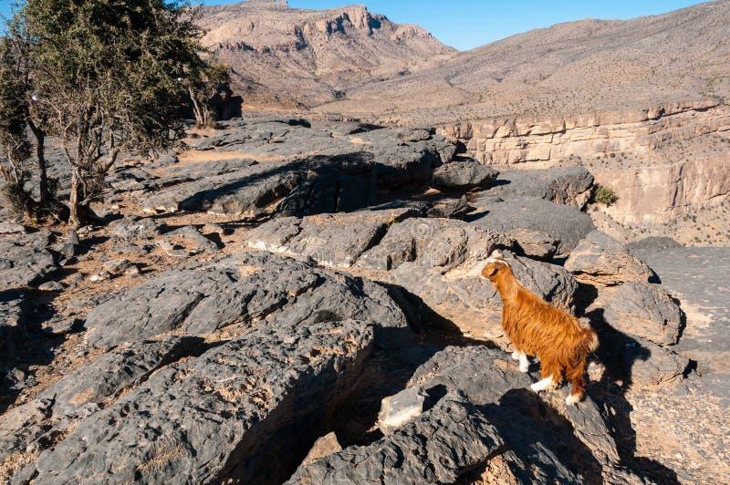 Η αίγα σε Jebel υποκρίνεται τα βουνά, Ομάν στοκ φωτογραφία