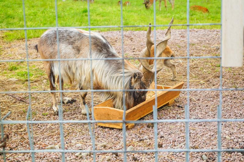 η αίγα Markhor τρώει σε έναν ζωολογικό κήπο στην Καρελία στοκ εικόνες