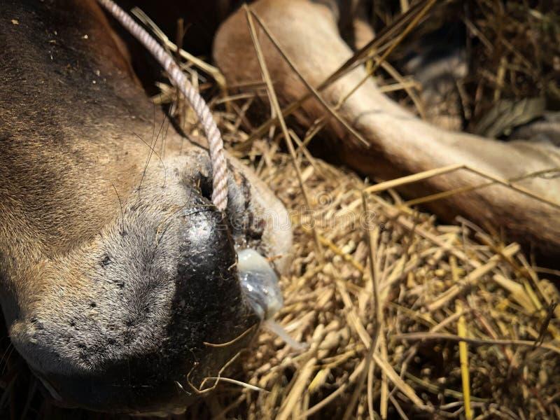 Η αγελάδα έχει πυρετό και μύτη που τρέχει στοκ φωτογραφία με δικαίωμα ελεύθερης χρήσης