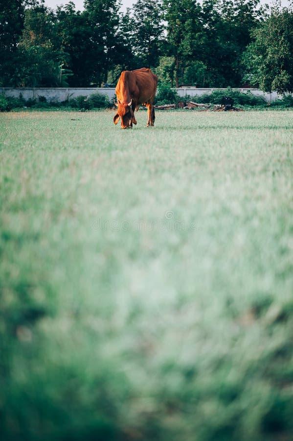 Η αγελάδα και η πράσινη χλόη αγελάδων χλόης πράσινης και τρώνε τη χλόη που το ένα πορτοκαλιά ημέρα ζει η ζωή της αλήθειας στοκ φωτογραφία με δικαίωμα ελεύθερης χρήσης
