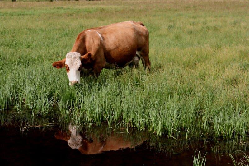Η αγελάδα φαίνεται αντανάκλαση στοκ εικόνα