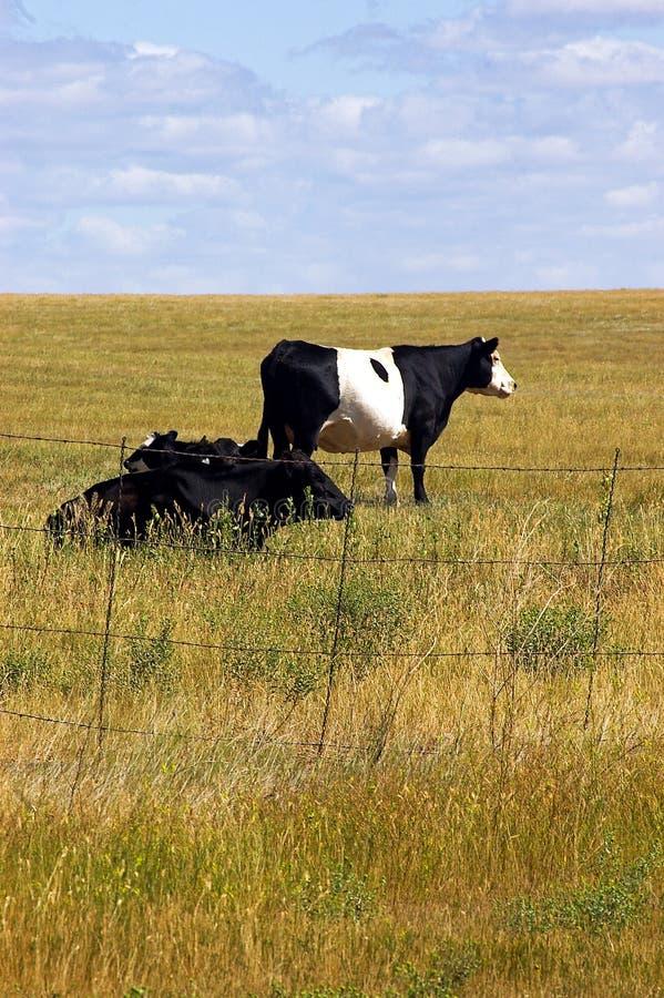 Η αγελάδα Oreo στοκ φωτογραφία με δικαίωμα ελεύθερης χρήσης