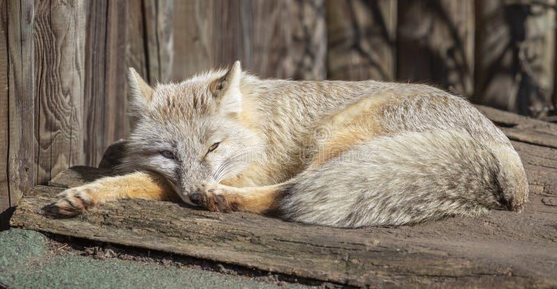 Η αλεπού Corsac χαλαρώνει στοκ εικόνες με δικαίωμα ελεύθερης χρήσης