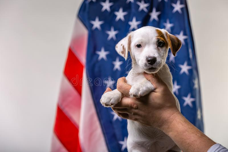 Η αμερικανική έννοια ημέρας της ανεξαρτησίας, χαριτωμένο terrirer του Russell γρύλων κουταβιών στα αρσενικά χέρια θέτει μπροστά α στοκ φωτογραφία με δικαίωμα ελεύθερης χρήσης