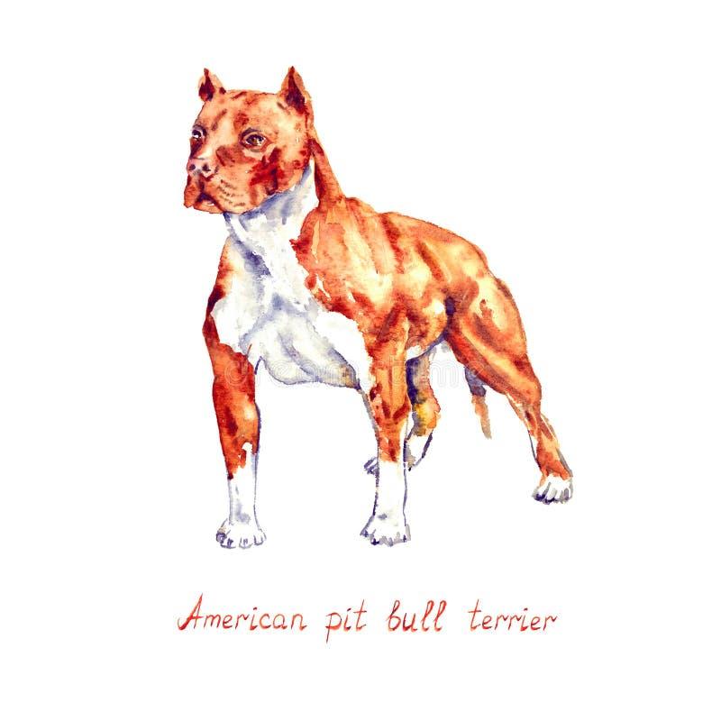 Η αμερικανική μόνιμη τοποθέτηση τεριέ πίτμπουλ, χέρι χρωμάτισε απομονωμένος στην άσπρη απεικόνιση watercolor διανυσματική απεικόνιση